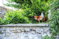 Roosters and chickens on the streets of Istanbul royalty free stock photo