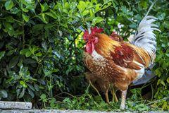 Roosters and chickens on the streets of Istanbul royalty free stock images