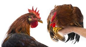 Roosters Royalty Free Stock Image
