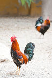 Roosters or cockerels in a yard. Two roosters or cockerels in a chicken run or yard in Spain, one in focus in the foreground and another in the background with Stock Photo