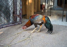 Roosters are eating on the floor Stock Images