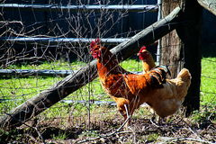 Roosters On The Farm Royalty Free Stock Photography