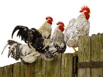 Roosters on fence. Royalty Free Stock Photos