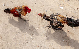 Roosters fight in Bali Royalty Free Stock Images