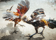 Roosters fight in Bali Stock Photo