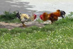 Roosters fight Stock Image