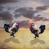 Roosters fighting Royalty Free Stock Photos