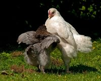 Roosters fighting of the two-month breed Hedemora from Sweden. Two months young cocks off the breed Hedemora from Sweden, training and practicing to fight for Royalty Free Stock Photography