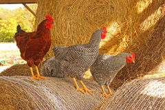 Roosters in hay in barn Royalty Free Stock Images