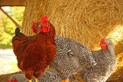 Roosters in hay in barn Royalty Free Stock Photography