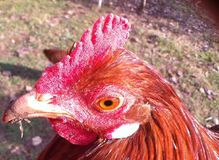 Roosters hed. Red, brown rooster living on the farm Royalty Free Stock Photography