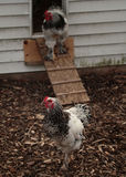 Roosters and hen house. Roosters walking out of their hen-house on a farm Royalty Free Stock Photos