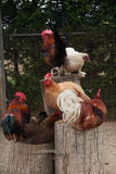 Roosters and hens Stock Photos