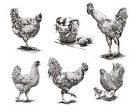 Roosters, hens and chickens Stock Photos