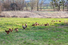 Roosters and hens on meadow Stock Image