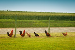 Roosters and hens in a row Stock Photography