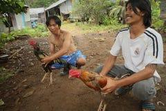 Roosters, innan cockfighting Royaltyfria Foton