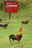 Roosters looking for fire. Roosters in a park in Hawaii by a firehose Royalty Free Stock Image