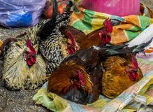 Roosters in the market royalty free stock photography