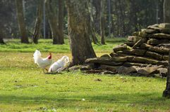 Roosters pecking for food Stock Photography