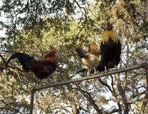 Roosters perching Royalty Free Stock Photography