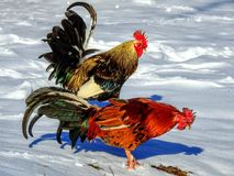 Carolina Snow Roosters. Roosters playing in the snow Royalty Free Stock Images