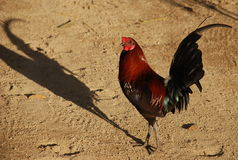 Roosters Shadow. Rooster casting proud shadow in the afternoon stock photos
