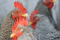 Roosters sitting the sun. Beautiful roosters sitting the sun royalty free stock image