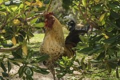 Roosters in spring 4. Spring affects all animals and especially roosters, the activity multiplies due to the increase in temperatures and hours of light. The Stock Photos