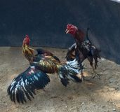 Roosters. Thai roosters fight Stock Photo