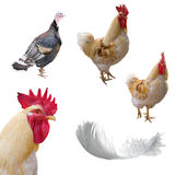 Roosters, turkey cock and feather Stock Photography