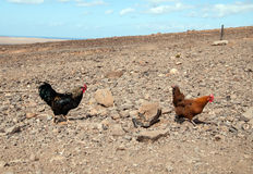Roosters Stock Photos