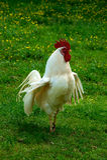 roosterwhite Royaltyfria Foton