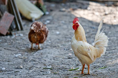 roosterwhitegård Arkivfoto