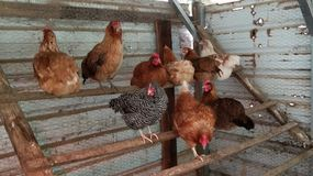 Roosting цыплята стоковое изображение