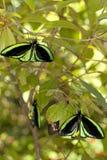 Roosting borboletas imagens de stock royalty free