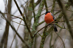 A roosting bullfinch. stock photos