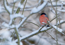 A roosting bullfinch in a winter landscape. Stock Photos