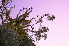Roosting Cormorants at Sunset Stock Images