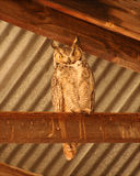 A Roosting Great Horned Owl Royalty Free Stock Images