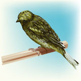 Roosting Green Canary Bird Stock Image