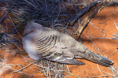 Roosting le pigeon Photo stock