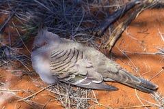 Roosting piccione Fotografia Stock