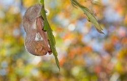 Roosting pipistrello rosso orientale Fotografia Stock