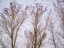 Roosting rooks Stock Photography