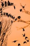 Roosting starlings собирают на дереве против оранжевого неба Стоковая Фотография