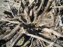 Root. From a tree in middle greens Stock Images