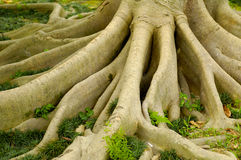 Root. Of a kind of banyan ,it makes the tree stand still in typhoon Royalty Free Stock Photography