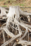 Root Royalty Free Stock Images