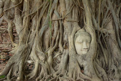 The root around Buddha statue head Stock Photos